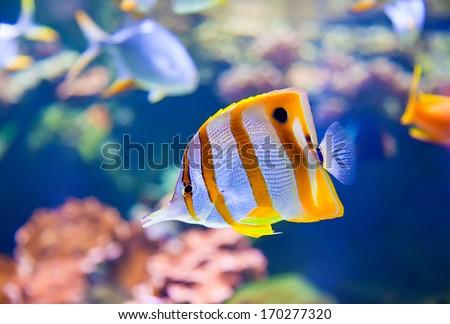 close-up of Beaked Coralfish (Chelmon rostratus) - stock photo