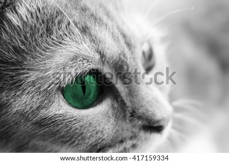 Close up of beautiful adult Scottish fold cat's face with green eye - stock photo