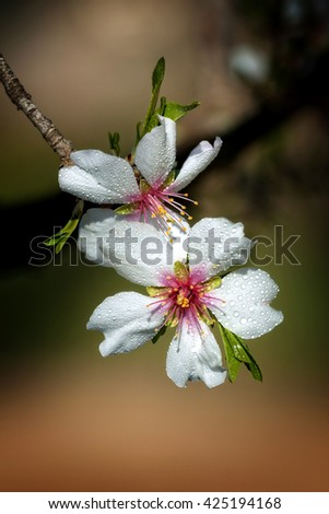 Close up of beautiful almond flowers in spring with drops - stock photo