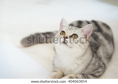 Close up of beautiful american shorthair cat sitting on the ground. - stock photo