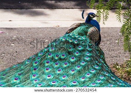 Close up of beautiful and colorful peacock with a crown of feathers - stock photo