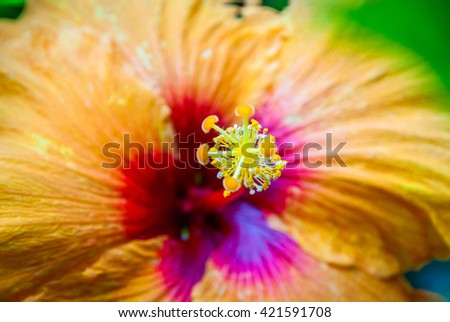 Close-up of beautiful blooming orange hibiscus flower - stock photo