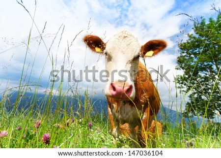 Close-up of beautiful brown cow's muzzle on the field looking at camera - stock photo