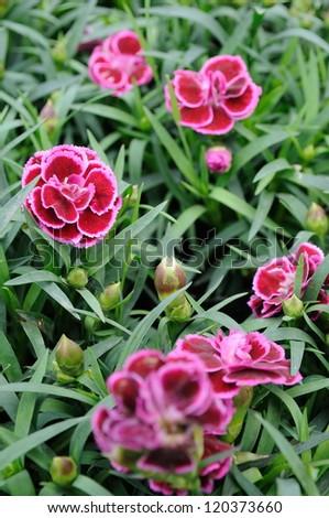 Close up of beautiful carnation flowers - stock photo