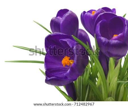 close up of beautiful crocus on white background - fresh spring flowers. Violet crocus flowers bouquet . (selective focus)