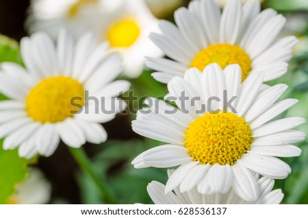 Close up of Beautiful Daisy Flowers in a Field. Selective DOF