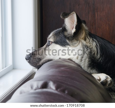 Close up of beautiful German Shepherd dog looking out a window. - stock photo