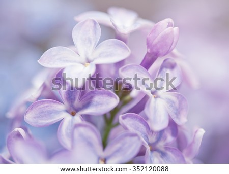 Close up of beautiful lilac flowers background. Selected focus and shallow DOF - stock photo