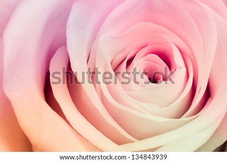 close up of beautiful multicolor rose