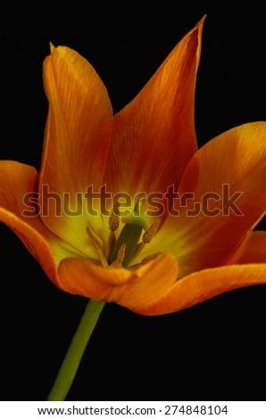Close up of beautiful orange tulip on black background - stock photo