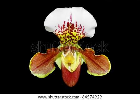 Close up of beautiful orchid (Paphiopedilum Maudiae) - stock photo