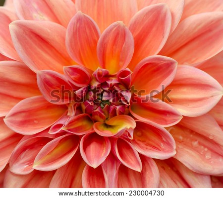 Close up of beautiful pink Dahlia flower. - stock photo