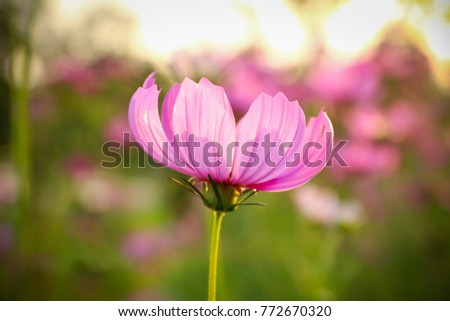 close up of beautiful pink flowers in the garden with green leaves and nature and sunlight background