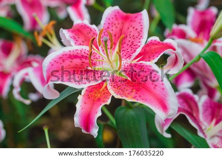 Close up of Beautiful Pink lily in garden