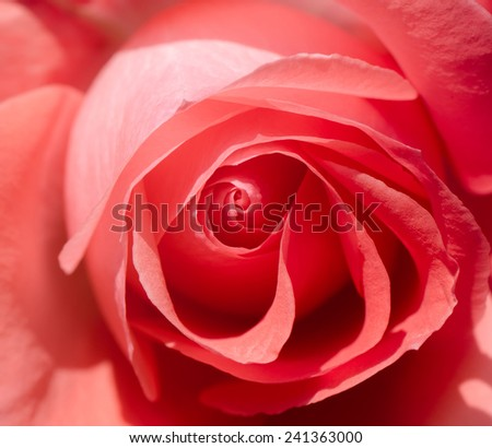 Close up of beautiful pink rose as background. - stock photo