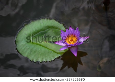 Close up of beautiful pink water lilly in the pond - stock photo