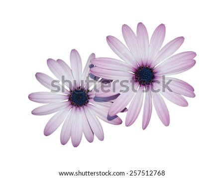 Close up of beautiful purple chrysanthemum flowers isolated on white background. - stock photo