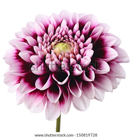 Close-up of beautiful purple dahlia isolated on a white background - stock photo