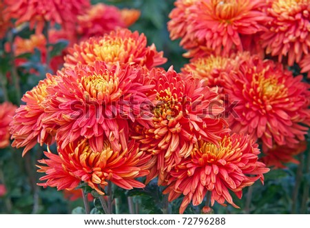 Close-up of beautiful red chrysanthemums