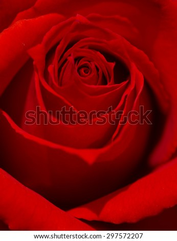 Close up of beautiful red rose.