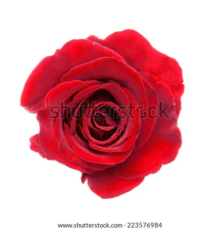 Close-up of beautiful red rose isolated on a white background. - stock photo