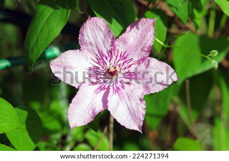 Close up of beautiful single white clematis flower  - stock photo