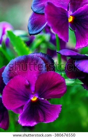 Close-up of beautiful violet purple pansy flowers  - stock photo