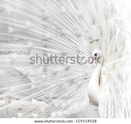 Close-up of beautiful white peacock with feathers out - stock photo