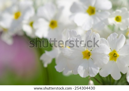 Close up of beautiful white primrose in flowerbed. - stock photo
