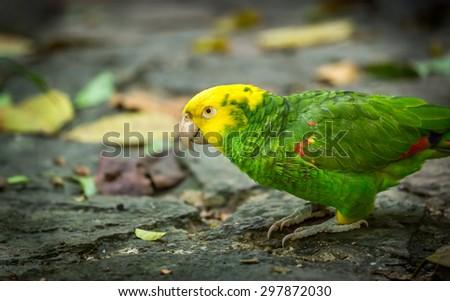 Close up of beautiful yellow-headed amazon parrot - stock photo