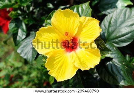Close up of beautiful yellow Hibiscus - stock photo