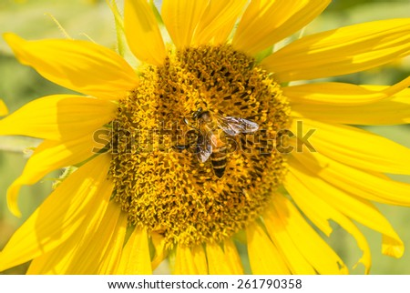 Close up of bee on sunflower - stock photo