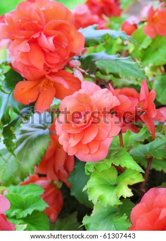 Close-up of begonia flowers