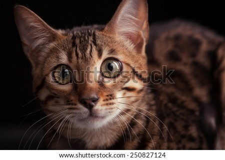 Close-up of Bengal cat, - stock photo