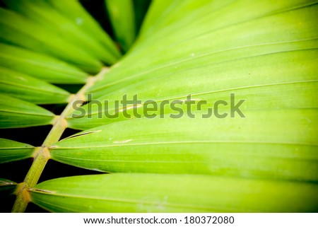 close up of betel palm leaves. - stock photo