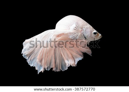 Close up of Betta fish or Siamese fighting fish in movement isolated on black background.