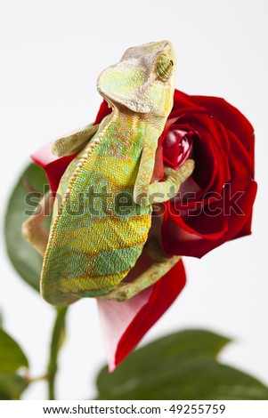 Close-up of big chameleon sitting on a red rose - stock photo