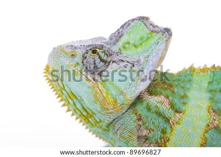Close-up of big chameleon sitting on a white background - stock photo