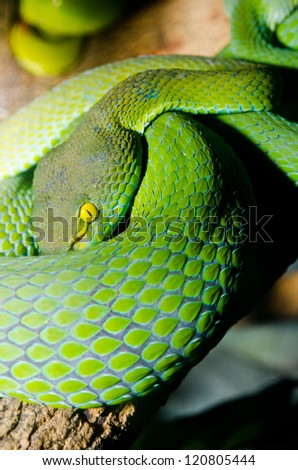 Close up of Big-eyed Pit Viper snake, Thailand. - stock photo