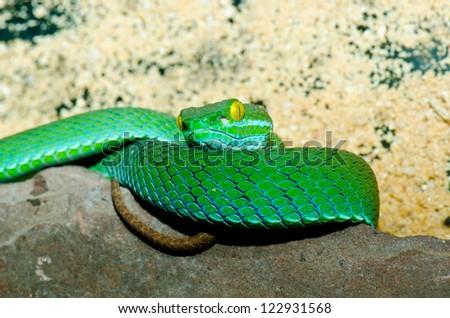 Close up of Big-eyed Pitviper or Cryptelytrops macrops, Thailand. - stock photo