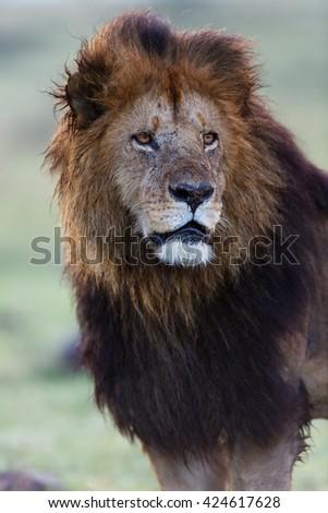 Close up of big lion in Masai Mara, Kenya - stock photo