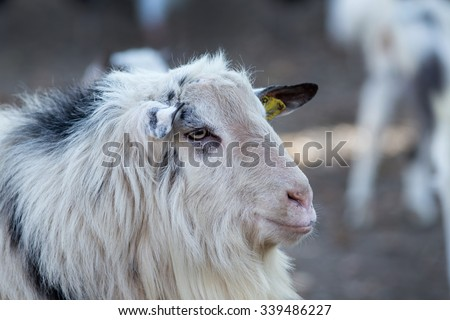 Close up of billy goat on the farm
