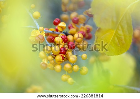 Close-up of Bittersweet berries, abstract autumn background, selective focus, shallow DOF. - stock photo