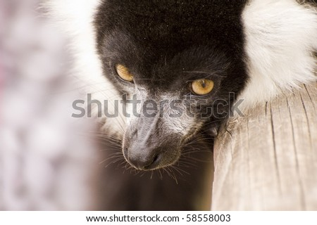 Close up of black and white ruffed lemur monkey