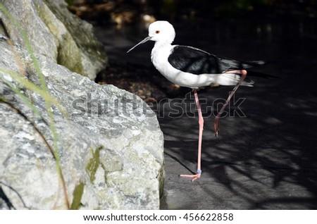 Close up of Black and white stilt bird - stock photo