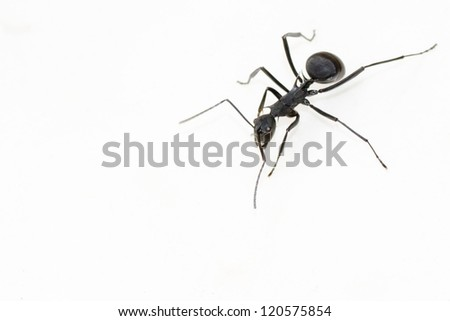 close up of black carpenter ant camponotus flavomarginatus on isolated white background - stock photo