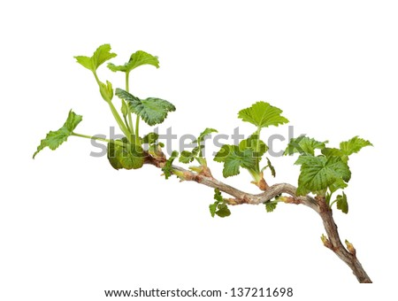 Close-up of black currant (Ribes nigrum) twig with spring fresh leaves isolated on white  - stock photo