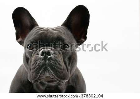 Close-up of Black French bulldog, 1 year old,  isolated on a white background - stock photo