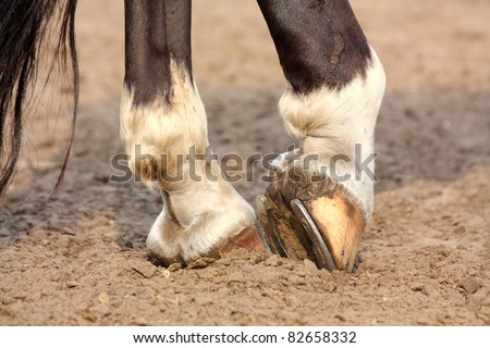 Close up of black horse with white spots hoofs with horseshoe - stock photo