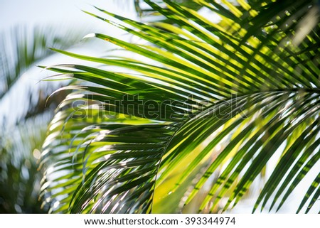 Close up of blades of young coconut frond
